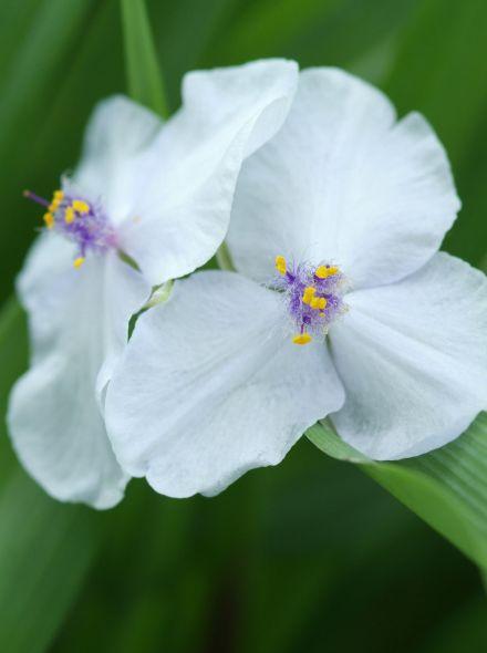Tradescantia andersoniana 'Osprey' (witte ééndagsbloem, vaderplant)