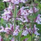 Salvia officinalis (Echte salie) - p9