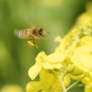 Zonder bijen geen vruchten