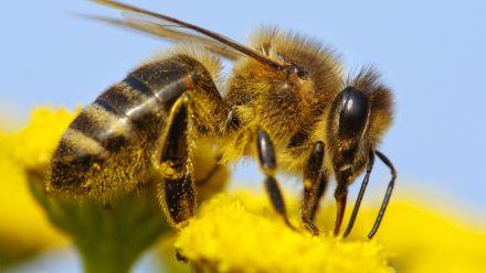 Bijenplanten en drachtplanten voor bijen