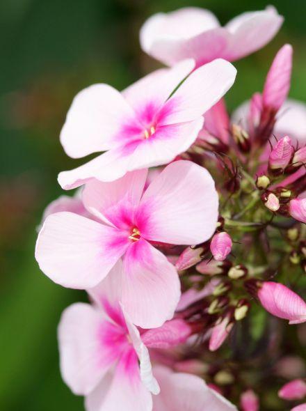 Phlox paniculata 'Bright Eyes' (Floks, vlambloem)