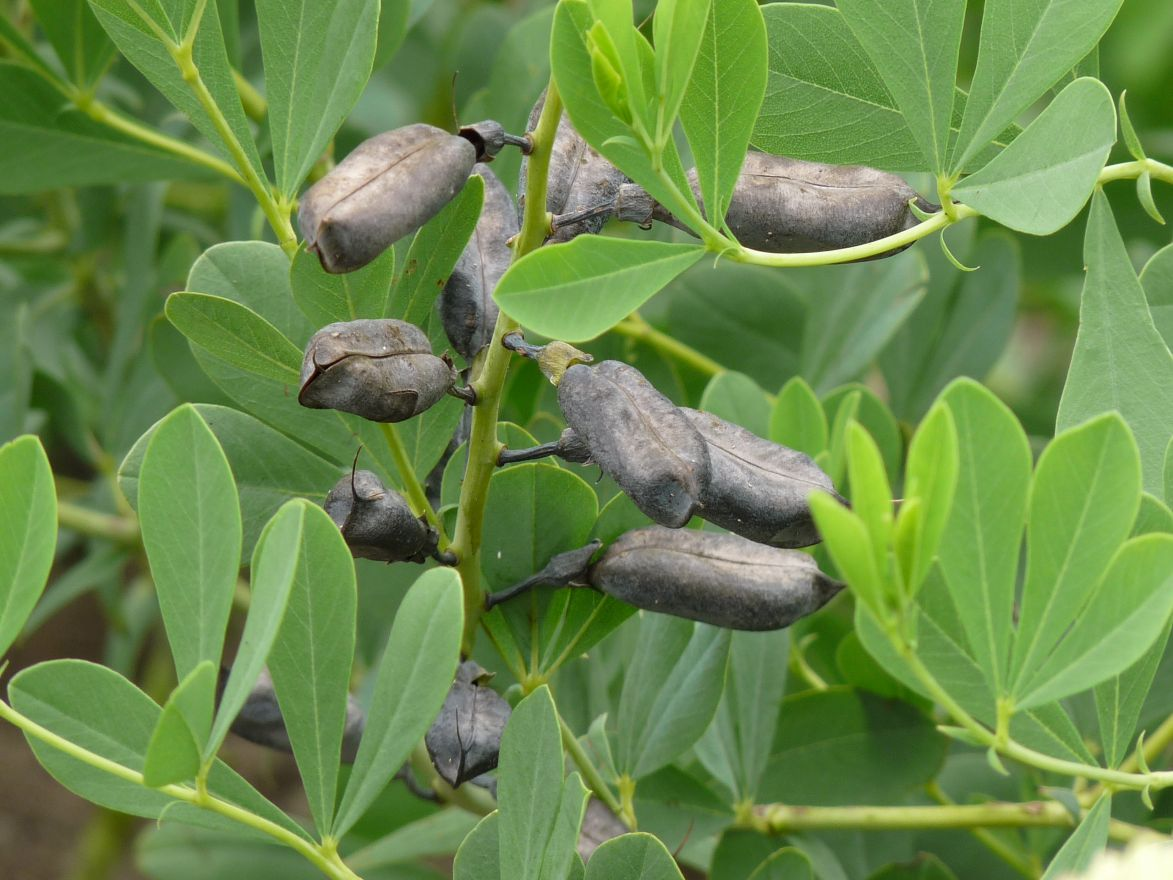 Baptisia australis (indigolupine, Valse indigo)