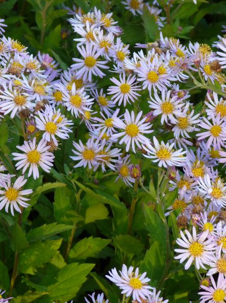 Aster ageratoides 'Asran' (Aster)