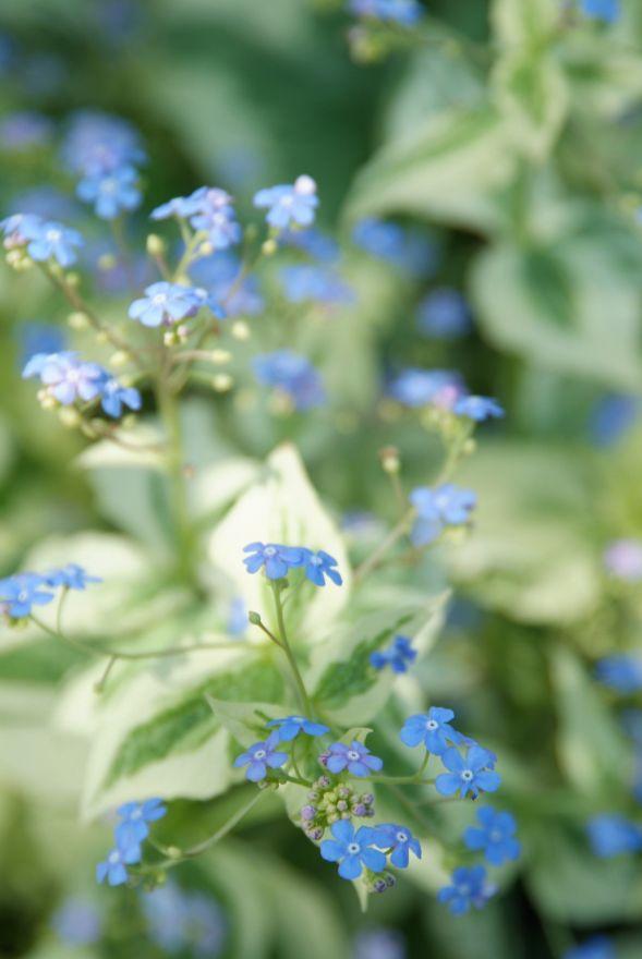 Brunnera macrophylla 'Variegata' (Kaukasisch vergeet-mij-nietje)