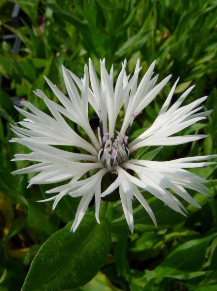 Centaurea montana 'Alba' (witte korenbloem)