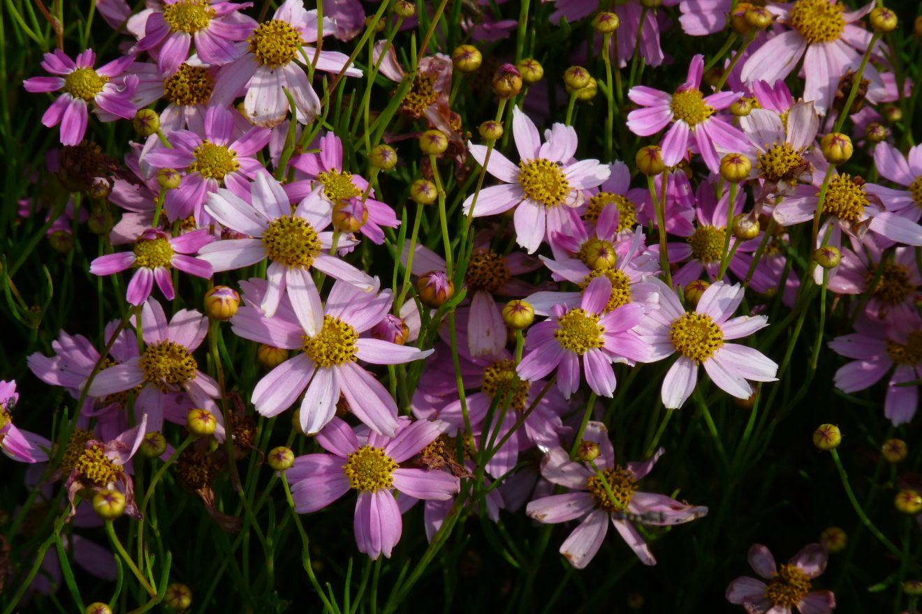 Coreopsis rosea 'American Dream' (Meisjesogen)
