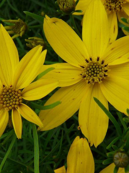 Coreopsis verticillata (Meisjesogen)