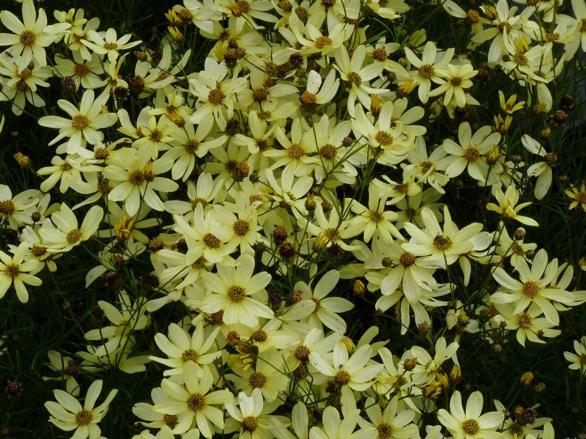 Coreopsis verticillata 'Moonbeam' (Meisjesogen)