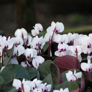 Cyclamen hederifolium 'Album' (Herfst cyclaam, Napolitaanse Cyclaam, Alpenviooltje)