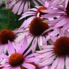 Echinacea purpurea 'Rubinstern' - p9