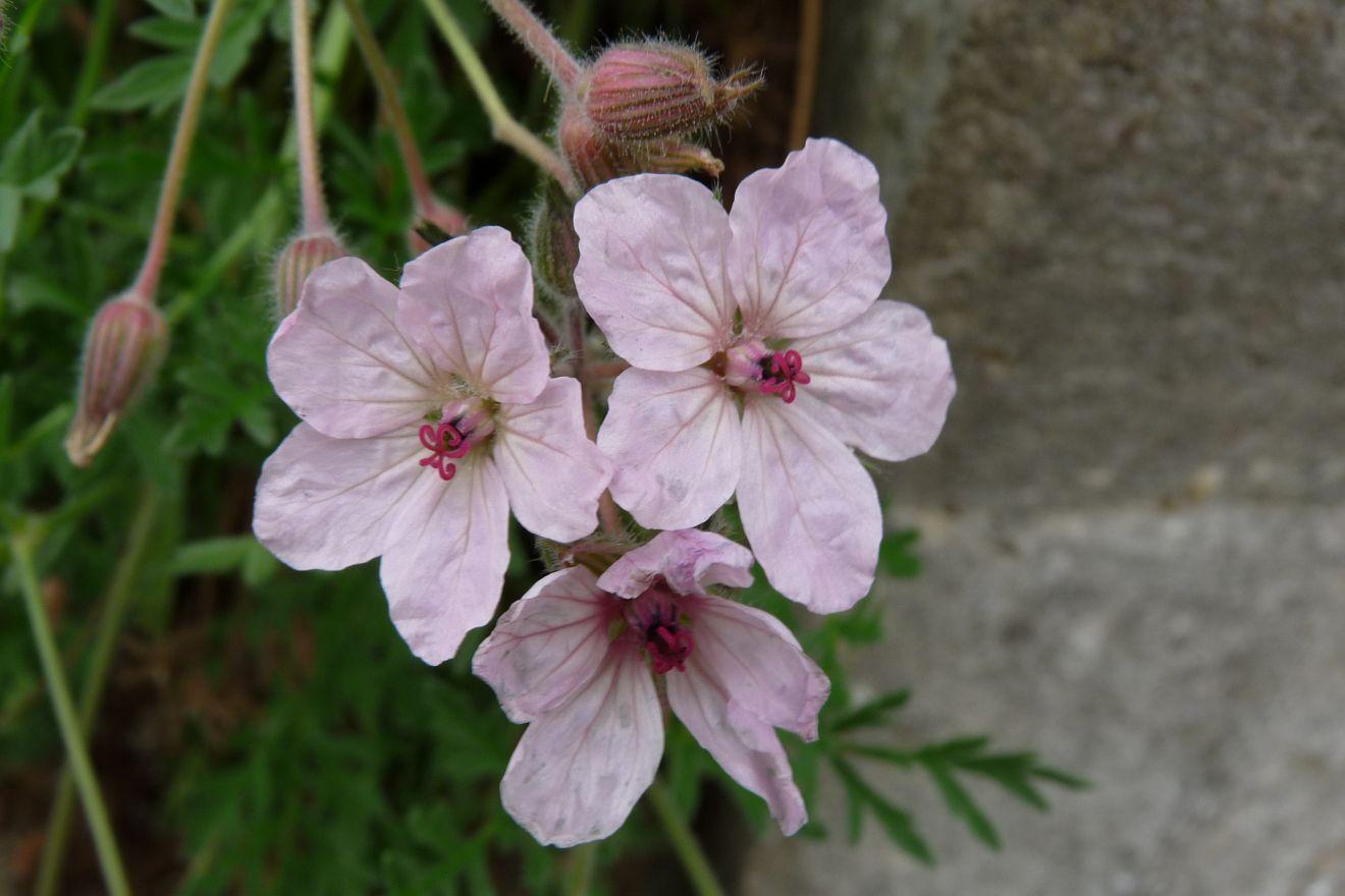 Erodium variabile 'Roseum' (Reigersbek)