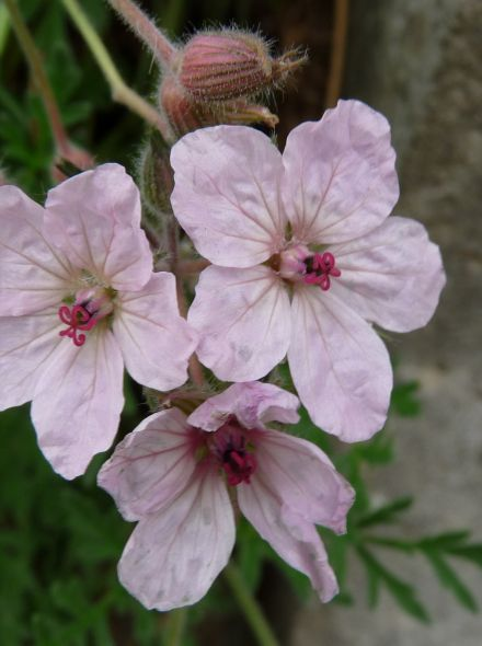Erodium variabile 'Roseum' (Reigersbek)