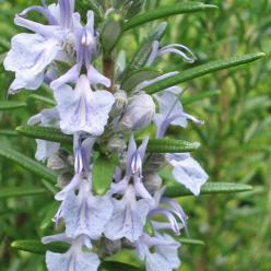 Rosmarinus officinalis - Rozemarijn