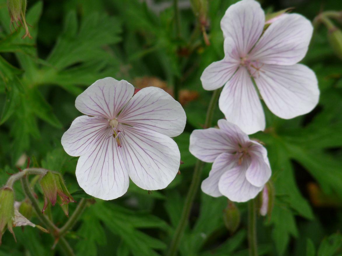 Geranium clarkei 'Kashmir White' (Ooievaarsbek)
