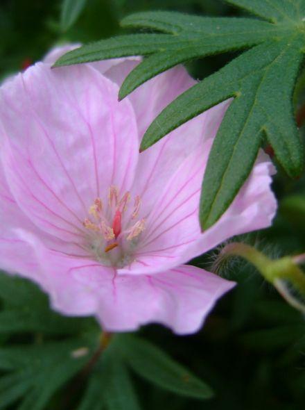 Geranium sanguineum var. striatum (Ooievaarsbek)