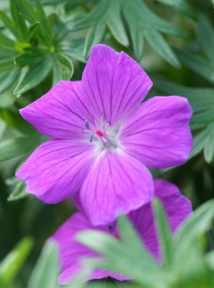Geranium sanguineum 'Max Frei' (Ooievaarsbek)