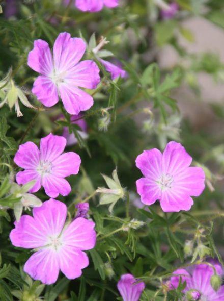 Geranium x riversleaianum 'Russell Prichard' (Ooievaarsbek)