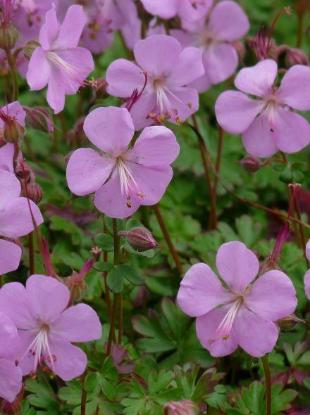 Geranium macrorrhizum 'Bevan's Variety' (Ooievaarsbek)