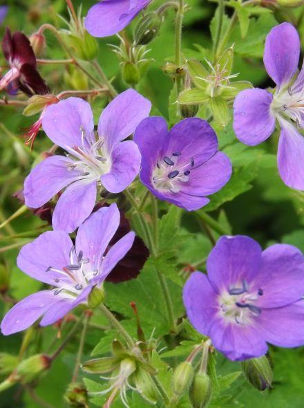 Geranium sylvaticum 'Mayflower' (Bosooievaarsbek)