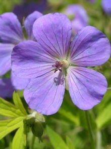 Geranium 'Blue Sunrise' (Ooievaarsbek)