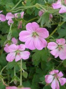 Geranium x riversleaianum 'Mavis Simpson' (ooievaarsbek)