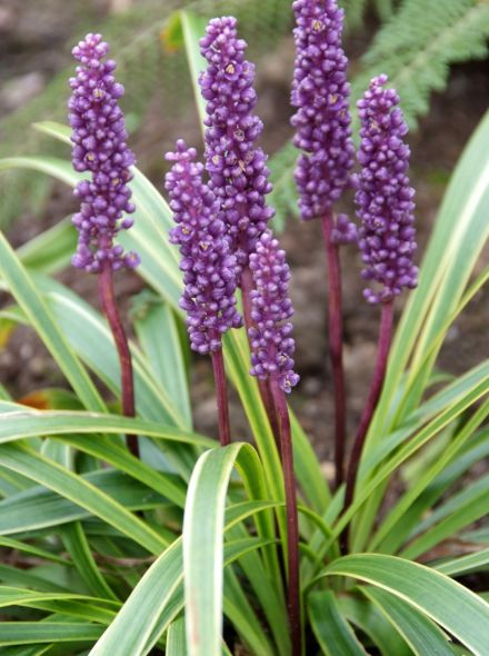 Liriope muscari 'Gold Banded' (Leliegras)
