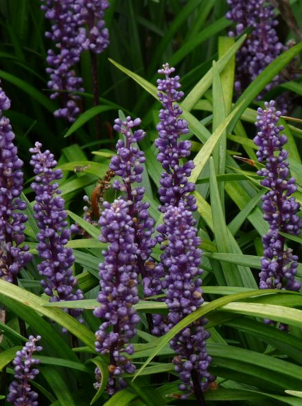 Liriope muscari 'Big Blue' (Leliegras)