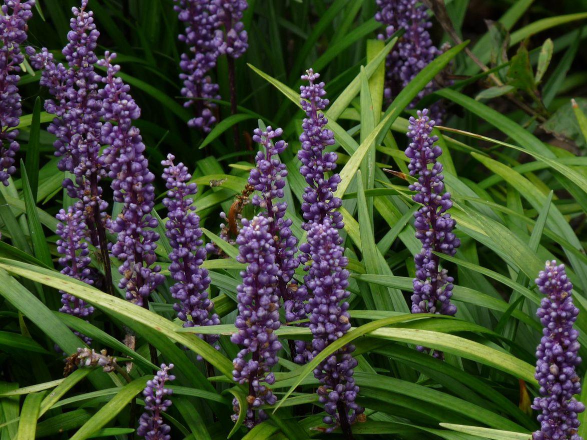 Liriope muscari 'Big Blue' (Leliegras)