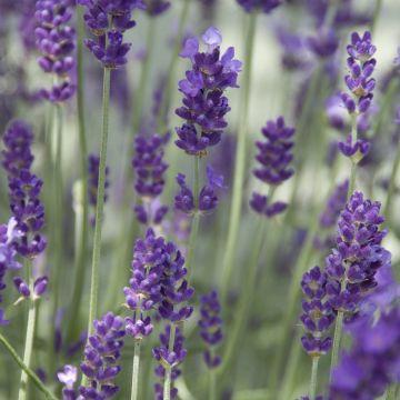 Verzorging van lavendel (L. angustifolia)