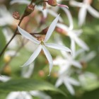 Gillenia trifoliata (Driebladige braakwortelspirea) - p9