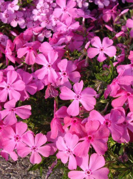 Phlox subulata 'Rosette' (Vlambloem, Kruipende vlambloem, Floks, Kruipphlox)