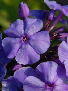 Phlox paniculata 'Blue Paradise' (Floks, vlambloem)