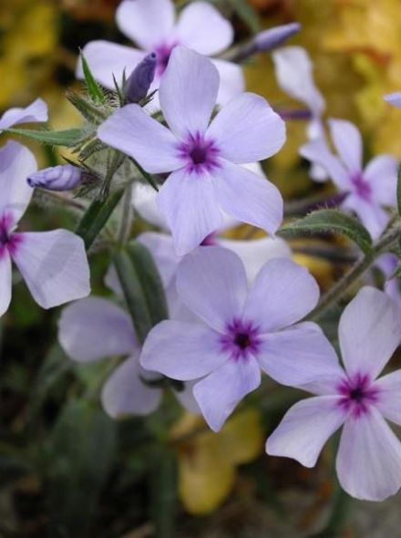 Phlox divaricata 'Chattahoochee' (Floks, Voorjaarsvlambloem, Vlambloem)