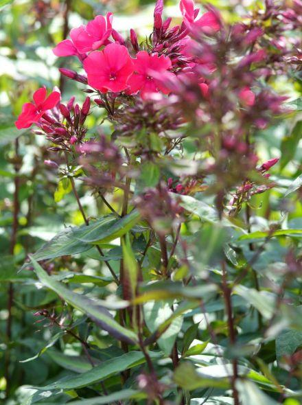 Phlox paniculata 'Tenor' (Floks, vlambloem)