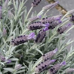 Lavandula stoechas 'Butterfly Garden' - Kuiflavendel