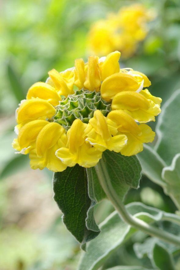 Phlomis fruticosa (Brandkruid, Etagebloem, Viltkruid)