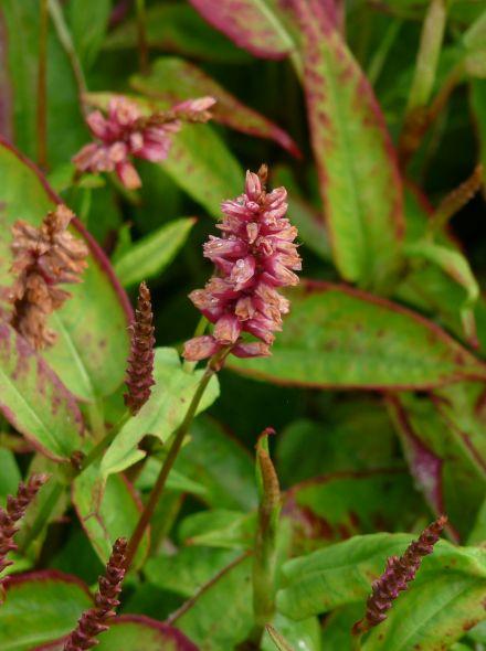 Persicaria amplexicaulis 'Inverleith' (Duizendknoop)