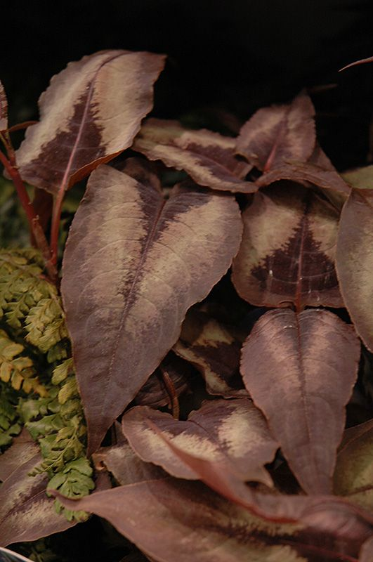 Persicaria microcephala 'Red Dragon' (Duizendknoop)