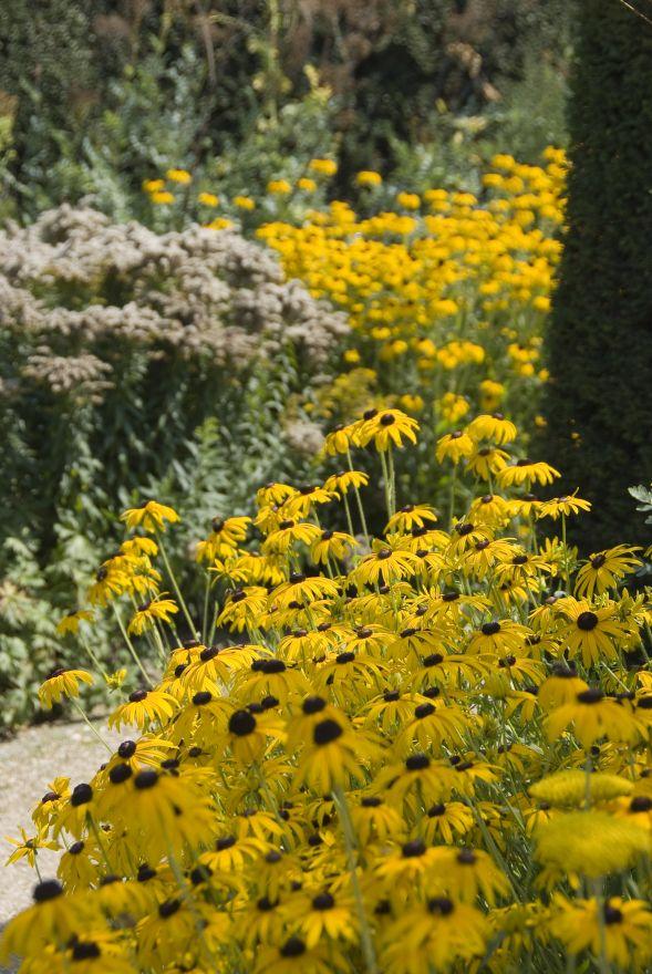 Rudbeckia fulgida 'Goldsturm' (Zonnehoed)