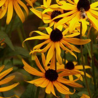 Rudbeckia fulgida Goldsturm (Zonnehoed, Gewöhnlicher Sonnenhut, Leuchtender Sonnenhut, Orange coneflower, Perennial coneflower)