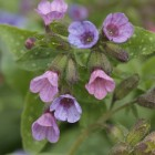 Pulmonaria 'Mrs Moon' (Longkruid) - p9