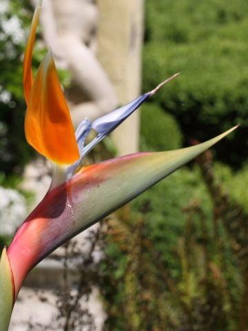 Strelitzia reginae - Paradijsvogelbloem, vogelkopbloem