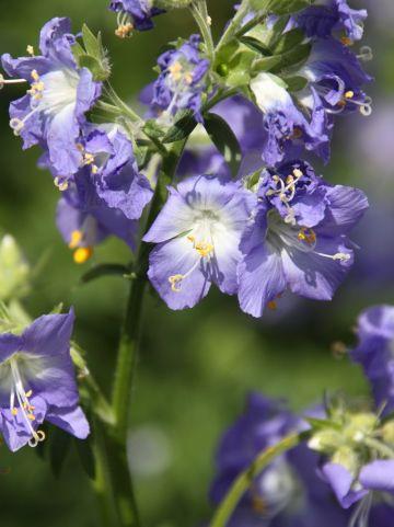 Polemonium caeruleum - Jacobsladder, hemelladder