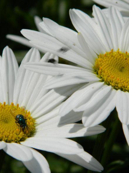 Leucanthemum x superbum 'Silberprinzesschen' (Reuzen, Herfst margriet)