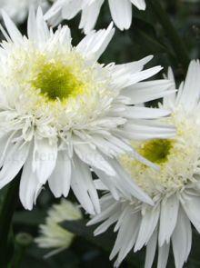 Leucanthemum x superbum 'Wirral Supreme' (Herfst Margriet)