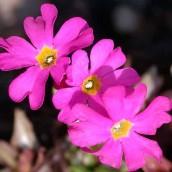 Primula rosea 'Grandiflora' (Sleutelbloem) - p9