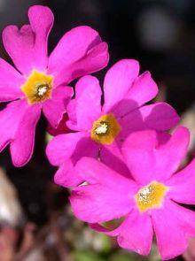 Primula rosea 'Grandiflora' (Sleutelbloem)
