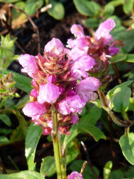 Prunella grandiflora 'Pink Loveliness' (Bijenkorfje, Brunel)