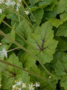Tiarella cordifolia 'Tiger Stripe' (Perzische muts, schuimbloem, schuimkaars)