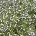 Thymus vulgaris (Gewone tijm, Keukentijm) - p9